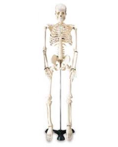Mr. Thrifty Skeleton Model
